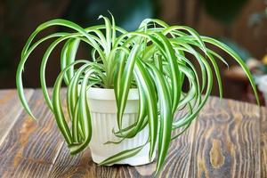 chlorophytum-plante-bienetre-maison-deco-fitskeen