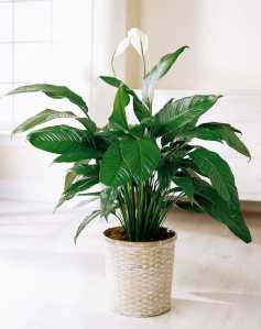 le-lys-paix-plante-depolluante-maison-fitskeen